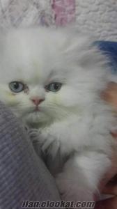 izmir beyaz mavi gözlü yavru erkek iran chinchilla persian kedi