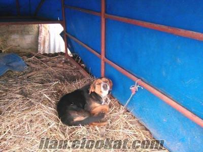 Giresun Doğankent satılık domuzcu
