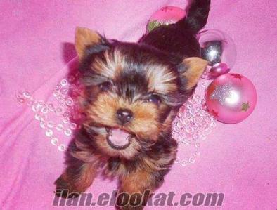 Mini erkek bebek Yorkshire terrier