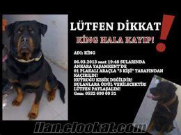 Kayıp ismi King 3 yaş erkek Rottweiler Ankara Yaşamkent (Adana da olabilir)
