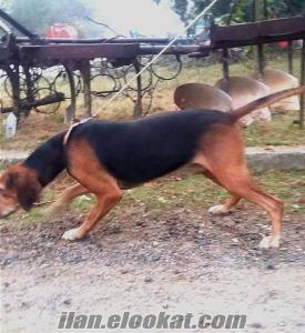 bursa inegölden barak ve kopay av köpeği