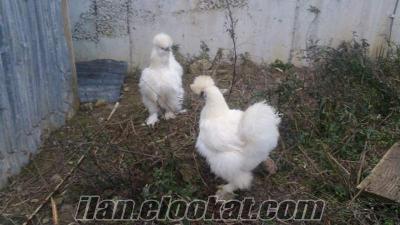 satılık habeş holanda tavuklar