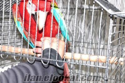 2 yaşında kırmızı ara macaw