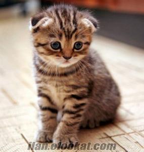 britişh shorthair egzotik persian cinsi kedi