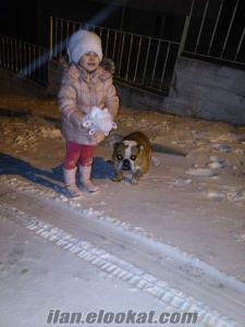 ingiliz bulldog yuva arıyor