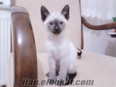 6 aylık safkan dişi siyam kedisi