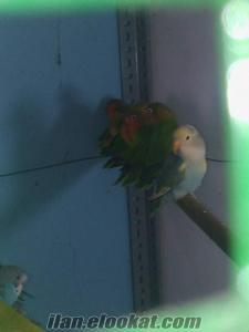 yavru papağanlar cennet papağanı ev ayvrusu