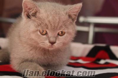 satılık süper kalite lia british shortahir yavruları
