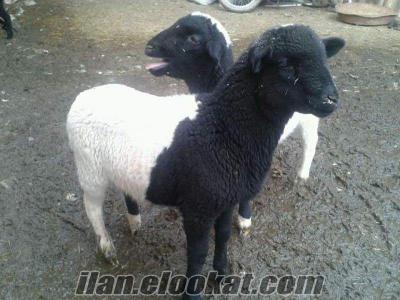 Safkan ve Melez Dorperler koç koyun kuzu