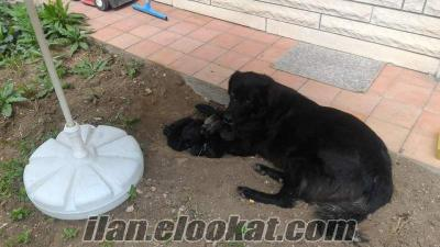 GOLDEN ( flat coated retriever) yavru sahıplendırme