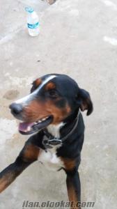 satılık usta tavsancı avköpeği kütahya