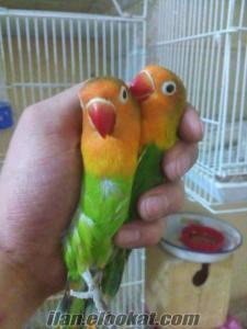 van papağan ev üretimi yavru papağan cennet papağanı bebekleri