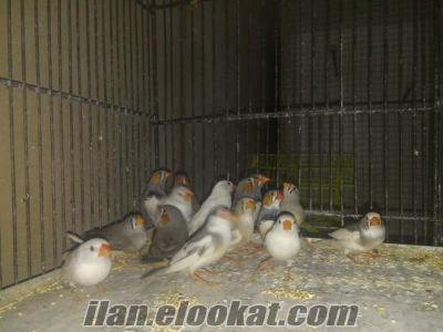hint bülbülü kendim ürettiğim kuşlar eşli garantili yavrulu