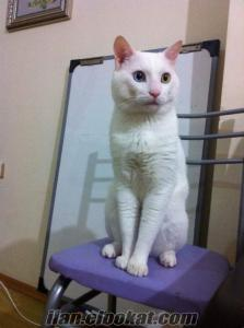 4 yaşındaki van kedimize çiftleştirmek için dişi Van/Ankara kedisi arıyoruz