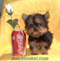 aydın civarı uygun fiyata satılık cins köpek . .