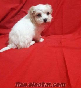 Maltese Terrier 2 aylık erkek yavru çok tatlı :)))