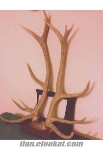 Ankarada sahibinden satilik orjinal Geyik boynuzu