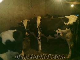 istanbul başakşehir sahibinden satılık hoştain cinsi inekler