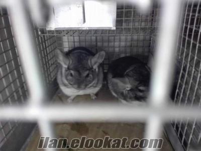 Damızlık ÇİNÇİLLA Tavşanı