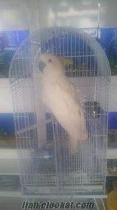 kakadu papagan