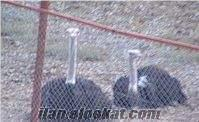 Satılık yavru deve kuşu