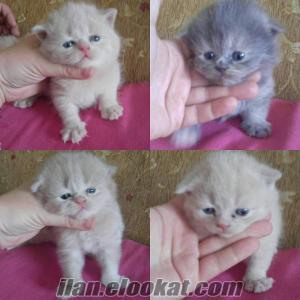 scotis fold kedi