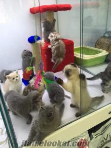12 ADET SCOTTISH FOLD VE BRITIŞ LER GELDİ ANK