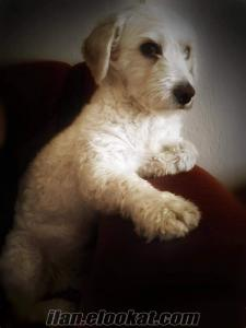 1 numara maltese terrier oğluma, dişi arıyoruz.