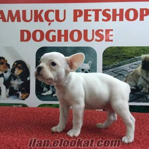 FRENCH BULLDOG PAMUKÇU DOGHOUSEDA