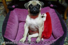 satılık pug cinsi köpek köpeğimiyer