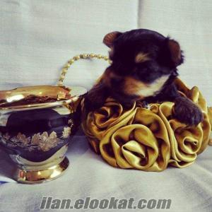 0 numara yorkshire terrier yavru dişi
