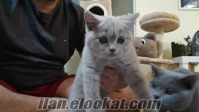 Safkan British Shorthair cinsi Lillac renk 2.5 aylık dişi Kedi
