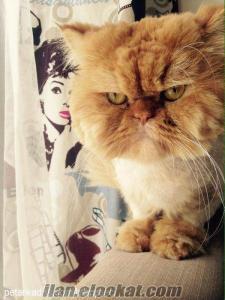 Safkan iran kedisi erkek Çifleştirilmek üzere beklemektedir
