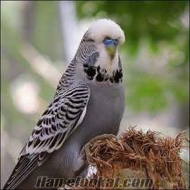 acil 10tlden muhabbet kuşu alınır