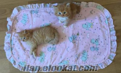 Veteriner onaylı İran kedi yavrusu