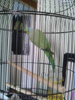 yeşil afrıka papaganı