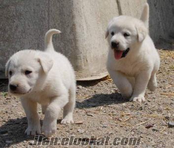 akbaş çoban yavruları