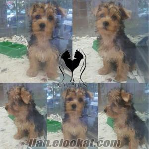yorkshire terrier dişi yavrumuz
