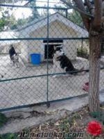 ankaradan husky cinsi köpekler