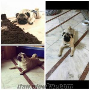 istanbul sahibinden satılık köpek pug