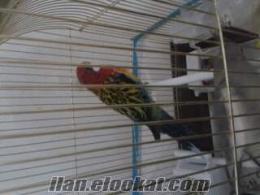 sakaryada sahibinden rosella papağan kafesiyle birlikte