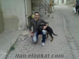 Orjinal Alman Eğitimli Rottweiler Erkek