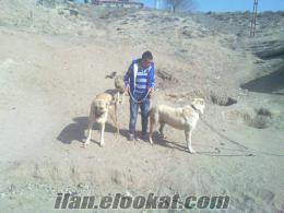 satılık erkek kangallar