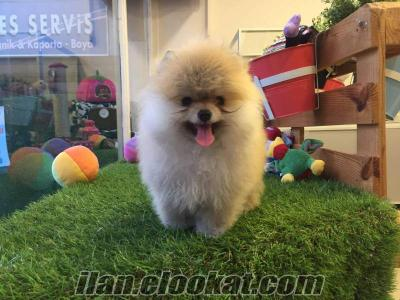 Muhteşem Pomeranian Boo Yavrular