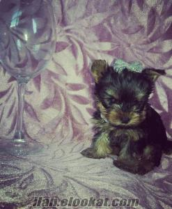 Sow klass yavrulari yorkshire terrier