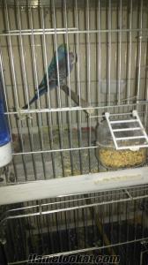 sultan papağanı ve muhabbet kuşu çiftleri garantili