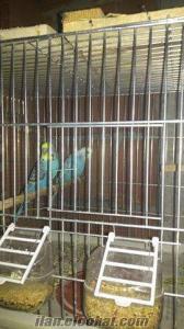 hepsi sağlıklı ve eş sultan papağanı ve muhabbet kuşları