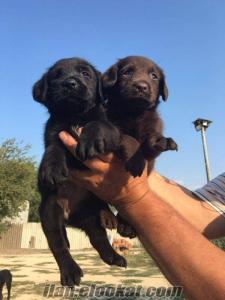 Satılık Siyah&Çikolata Labrador Yavruları
