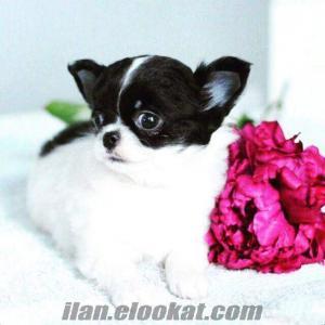 Chihuahua (Şivava) yavrularımız