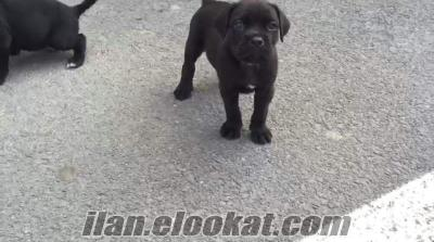 sahibinden yavru cane corse siyah köpekler tanesi 1.200 tl
